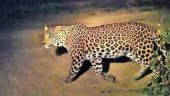 Leopard killed in Mundra reserve by train
