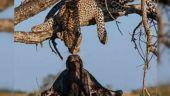 Leopard kisses buffalo in African jungle, video breaks the internet in human world