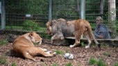 Two lions, two tigers and a jaguar escape from flood-ravaged German zoo