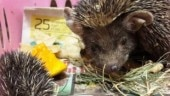 Two hedgehogs found at Delhi railway station