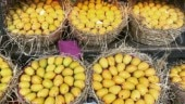 Mangoes turn sour in exporters' mouth