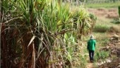 Centre's sweet relief to sugar industry: Increases price of ethanol derived from sugarcane