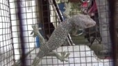Rare lizard worth Rs 1 crore rescued from smuggler in West Bengal