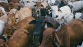 VHP to set up gau raksha dals in Mangaluru to counter cow theft