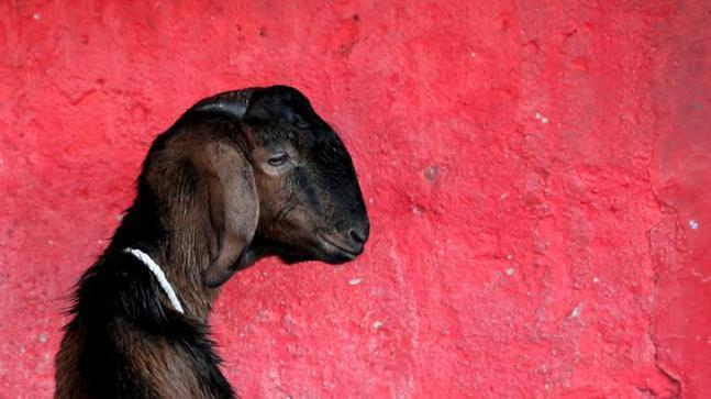 Eight men have been accused of raping a pregnant goat after which the animal died