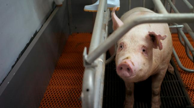 China culls thousands of pigs as African swine fever spreads