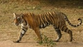 Man disturbs mating tiger at Ranthambhore, furious cat sends him to hospital