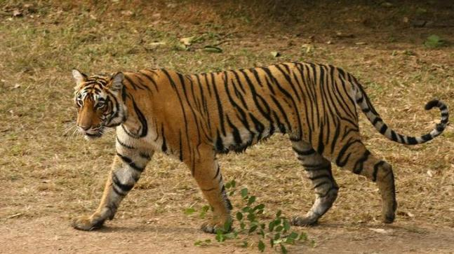 Youth disturbs mating tiger at Ranthambhore, furious cat sends him to hospital