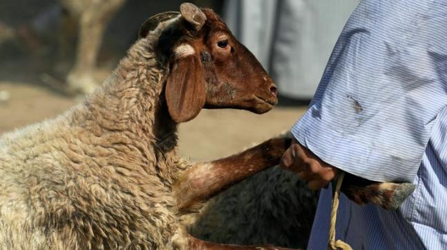 A vendor carries a sold sheep to the customer's car, ahead of the Muslim festival of sacrifice Eid al-Adha. (Photo: Reuters)