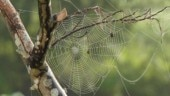This new spider silk made from bacteria is stronger than steel and can be used in stitches!