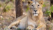 14 Asiatic lions die in Gir: Facts about Gir lions and protection measures taken by govt
