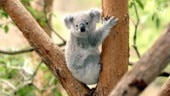 Koala, Australia's beloved animal, likely to become extinct by 2050