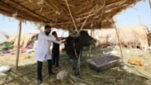 Imran Khan government auctions 8 buffaloes kept by Nawaz Sharif