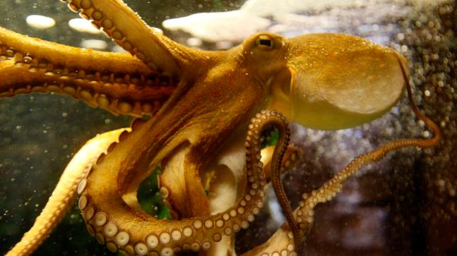 Octopuses get very friendly when they're on MDMA, study reveals