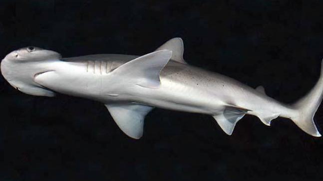 Omnivorous shark, bonnethead shark, seagrass, omnivorous shark species