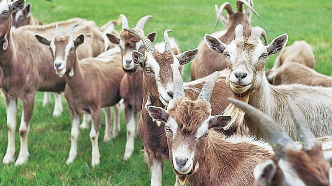 Goats killed in Faridabad
