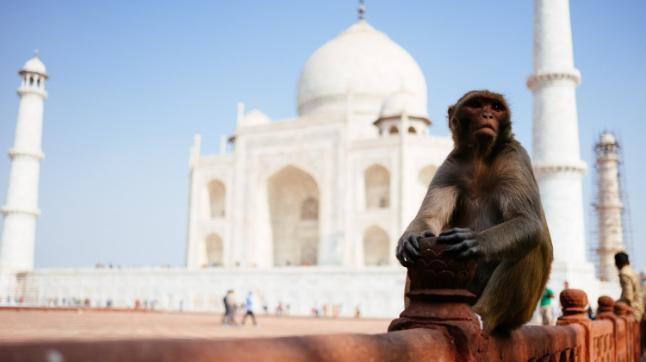 Monkeys inside the Taj