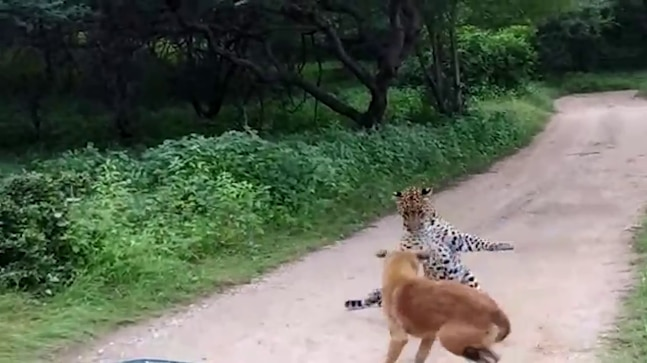 Fearless dog scares away wild leopard in Rajasthan