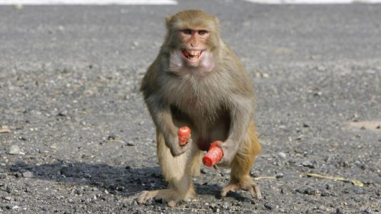 Man 'Stoned To Death' By Monkeys in UP; Family Wants FIR