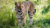 Hunt for man-eating tiger Avni sparks chorus for presidential pardon