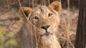 Gujarat loses over 3 per cent of lion population in 20 days