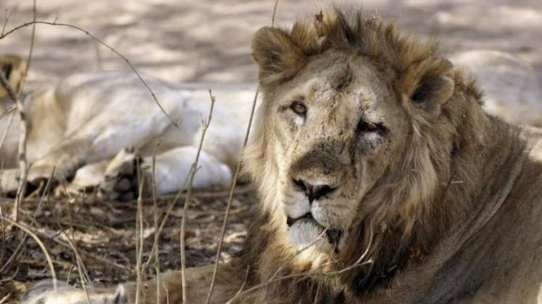 Gir lion death toll reaches 23, Supreme Court, Gujarat High Court express worry
