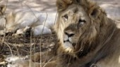 More Asiatic lions in India test positive for virus after 23 deaths