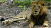 Lions in Gujarat safe, none of them will be shifted out of state: CM Vijay Rupani