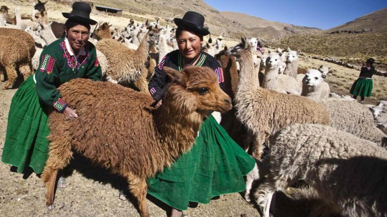 UN's project, 'Evaluation, recovery and conservation of the genetic resources of the Suri alpaca strain in Peru'. (Image: UN)