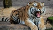 Only 6 sub-species of tigers left: Here's why they are going extinct