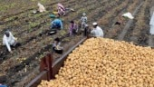 SPOILS FROM THE SOIL- Potato crop in Shajapur-(PANKAJ TIWARI)