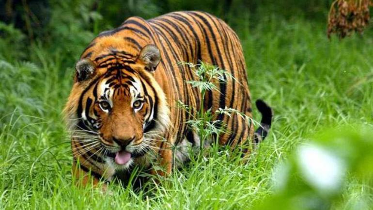 Tigress crushed to death with tractor by angry locals in UP's Dudhwa