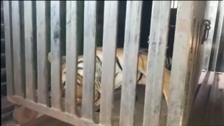 India man-eating tigress killed after huge hunt