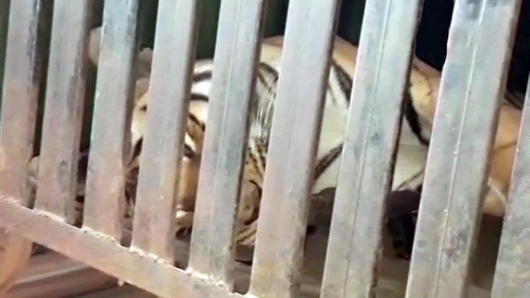 Man-eating tigress Avni shot deadTelegraph India