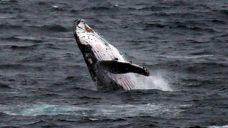 Japan Says It Will Withdraw From IWC And Resume Commercial Whaling