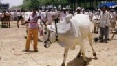 No fodder? send cattle to relatives, Maharashtra minister sparks row