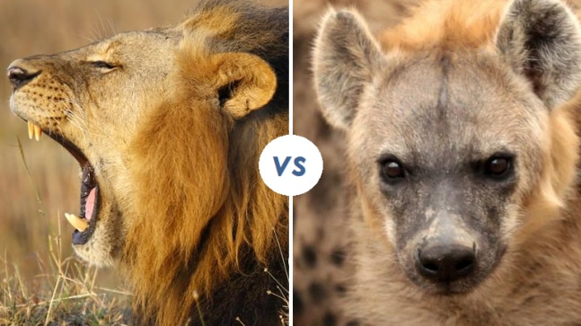 20 hyenas attack a lion  what happens next will make your