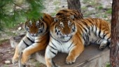 50 tigers died in India this year, with highest deaths in Madhya Pradesh