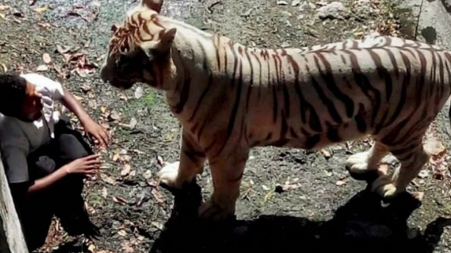 Fact Check: Viral images and video on tiger attacks are old and