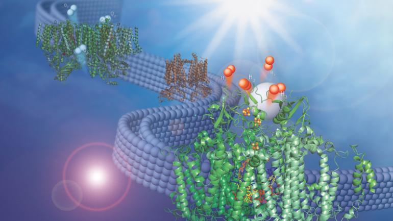 This image shows two membrane-bound protein complexes that work together with a synthetic catalyst to produce hydrogen from water. (Image: Olivia Johnson, Lisa Utschig via Argonne National Lab)