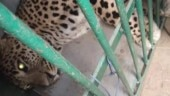 Relief for residents as forest dept catches leopard lurking in Noida