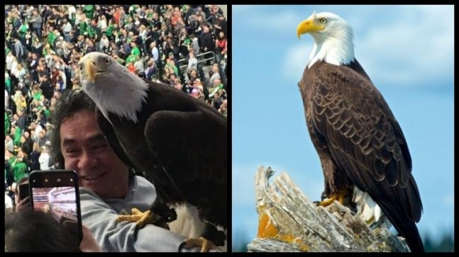 College football match turns crazy after huge eagle lands on fan. Watch incredible video