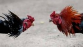 Rooster fights reign as the thriving gambling sport during Makar Sankranti