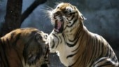 Kanha tigress death: Big cats eating each other is nothing new