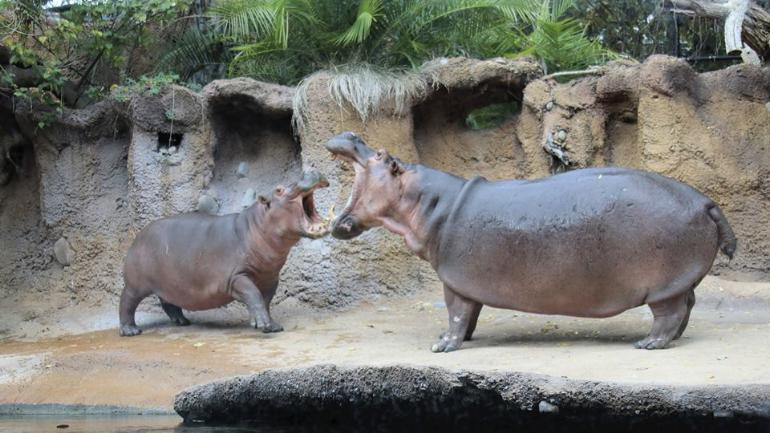 Fiona The Hippo Gets Best Birthday Surprise From Her Crush
