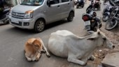 Stray cows to be barcoded in Uttar Pradesh