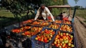 Pulwama: MP tomato farmers won't export produce to Pakistan, say soldiers more important than profit