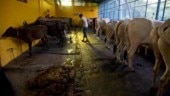 5 stray cows die of cold in Uttar Pradesh
