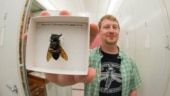 World's largest bee, 'flying bulldog' rediscovered in Indonesia