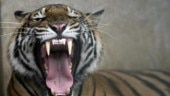 Forest officials on big-cat hunt after tiger spotted in Gujarat in decades